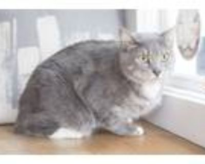 Adopt Greenley a Gray or Blue Manx (short coat) cat in Dayton, OH (31178891)