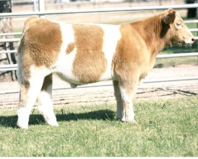 SHOW STEERS AND HEIFERS Northern California