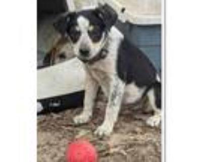 Adopt Garrett a Tricolor (Tan/Brown & Black & White) Blue Heeler / Mixed dog in