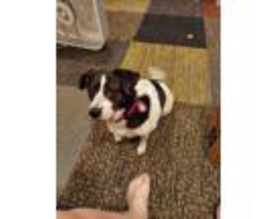 Adopt Lola a Black - with White Beagle / Feist / Mixed dog in Douglasville