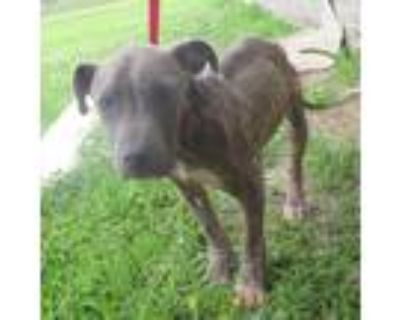 Adopt Dean a Pit Bull Terrier / Mixed dog in LAFAYETTE, LA (31485879)