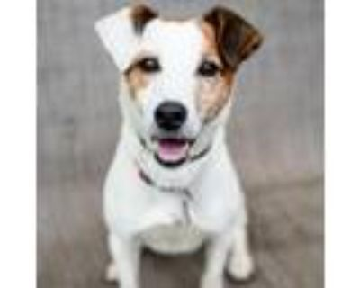 Adopt Scrappy a Jack Russell Terrier