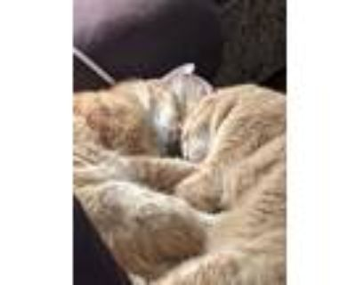 Adopt Tom & Jerry a Orange or Red Tabby American Shorthair / Mixed (short coat)