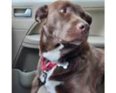 Adopt Hershey a Labrador Retriever