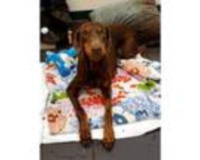 Adopt QUETZAL a Brown/Chocolate Doberman Pinscher / Mixed dog in Pasadena