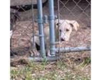 Adopt Marcus a Labrador Retriever