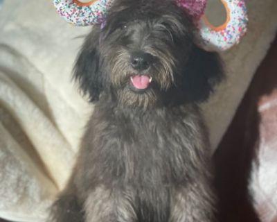 IRISH Soft Coated Wheaten-Whoodle Puppy