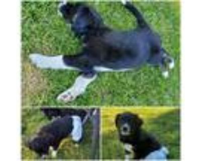Adopt Socks a Black - with White Border Collie / Mixed dog in Idaho Falls
