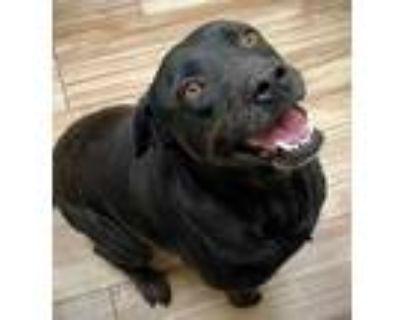 Adopt Holly a Black Labrador Retriever / Mixed dog in Burleson, TX (31540624)