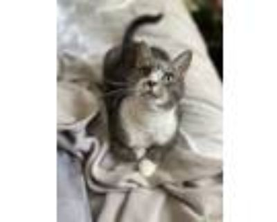 Adopt Phineas a Gray, Blue or Silver Tabby Domestic Shorthair / Mixed (short