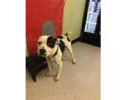 Adopt ACE a White - with Black American Pit Bull Terrier / Mixed dog in