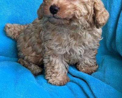 Poodle Puppy Tiny Toy