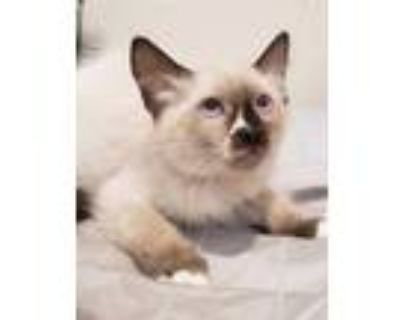 Adopt Teal a Brown or Chocolate Siamese / Snowshoe / Mixed cat in Phoenix