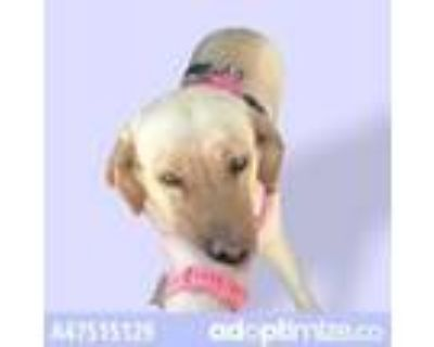 Adopt 47515129 a Red/Golden/Orange/Chestnut Retriever (Unknown Type) / Mixed dog