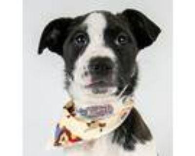 Echo, Labrador Retriever For Adoption In Kennesaw, Georgia