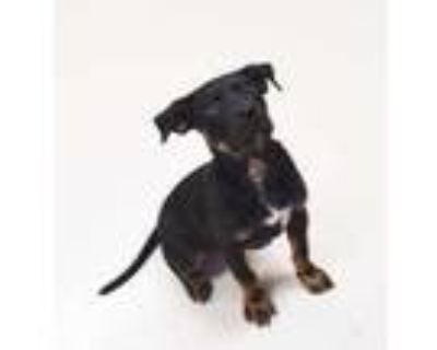 Adopt Bruce a Black Retriever (Unknown Type) / Mixed dog in Carrollton
