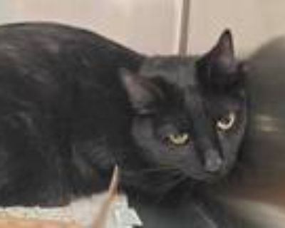 Adopt KITTY a All Black Domestic Shorthair / Mixed (short coat) cat in