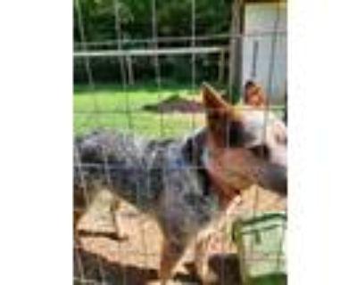 Adopt Artemis a Gray/Blue/Silver/Salt & Pepper Australian Cattle Dog / Mixed dog