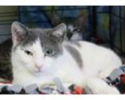 Adopt Mr. Grayson a Gray or Blue Domestic Shorthair (short coat) cat in New