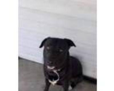 Adopt Texaco a Labrador Retriever