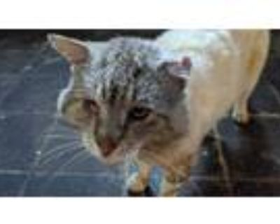 Adopt Unnamed a Tan or Fawn (Mostly) American Shorthair / Mixed (short coat) cat
