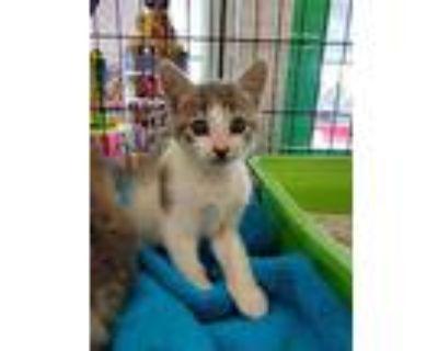 Jenny, Domestic Shorthair For Adoption In Smyrna, Georgia
