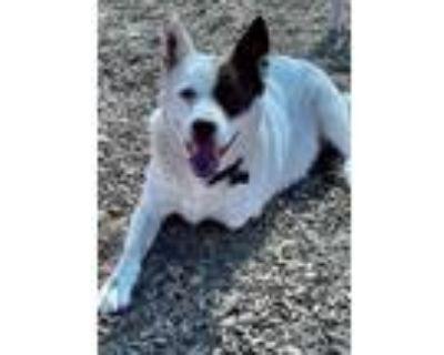 Adopt SOBA a Australian Cattle Dog / Blue Heeler, Mixed Breed