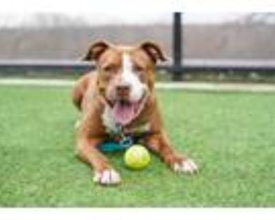 Adopt Sicily a Brown/Chocolate American Pit Bull Terrier / Mixed dog in Kansas