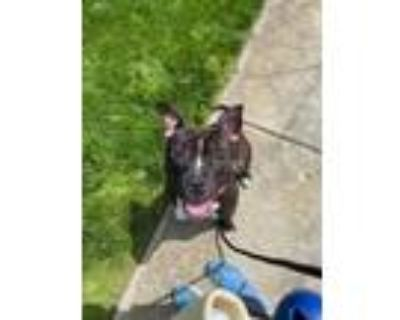 Adopt Max a Black American Pit Bull Terrier / Mixed dog in Newport News