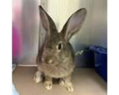 Adopt IVY a Fawn Other/Unknown / Mixed rabbit in Boston, MA (32074283)