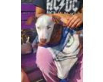 Adopt Grogu a Brown/Chocolate American Pit Bull Terrier / Mixed dog in Fort