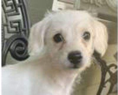 Adopt Jasmine a Tan/Yellow/Fawn Terrier (Unknown Type, Small) / Poodle