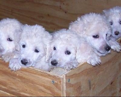 AKC standard poodles Embark tested white 14 week old boy $1700 girls