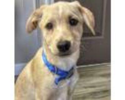 Adopt Kai a Collie, Yellow Labrador Retriever