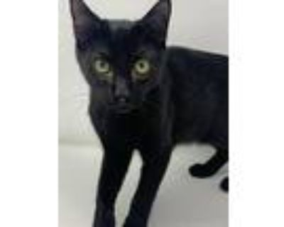 Grits, Domestic Shorthair For Adoption In Abbeville, Louisiana