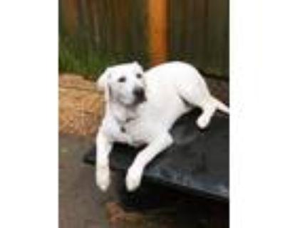 Adopt Qooer a White Labrador Retriever / Mixed dog in Atlanta, GA (31952356)