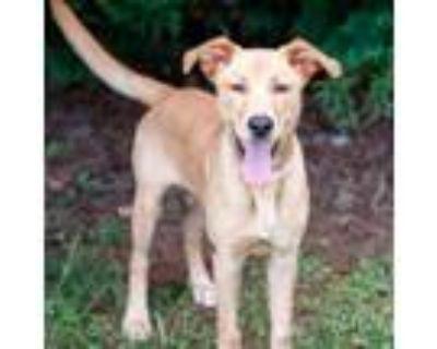 Adopt Otis 11049 a Tan/Yellow/Fawn Labrador Retriever / Hound (Unknown Type) /