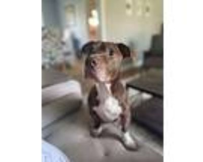 Bob, Pit Bull Terrier For Adoption In Noblesville, Indiana