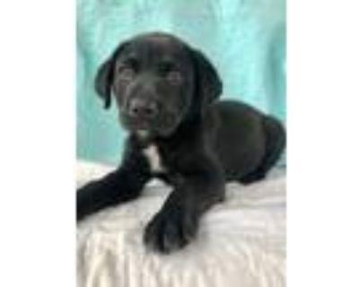 Adopt Suzy Q a Black - with White Labrador Retriever / Shepherd (Unknown Type) /