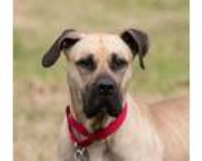 Adopt Vanity a Great Dane, Mastiff