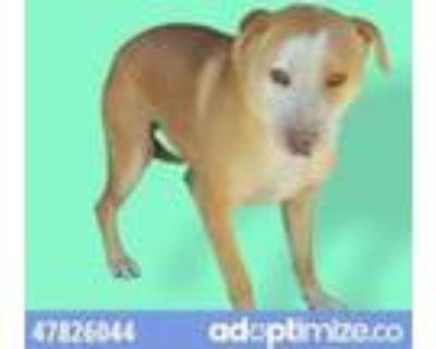Adopt 47826044 a White Labrador Retriever / Mixed dog in El Paso, TX (31526086)