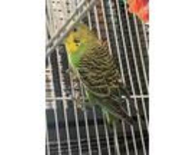 Adopt Rio a Parakeet (Other)