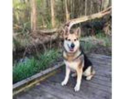 Adopt Roxy a German Shepherd Dog, Collie