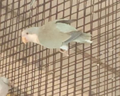 Parakeet - Other named Sybill available for adoption