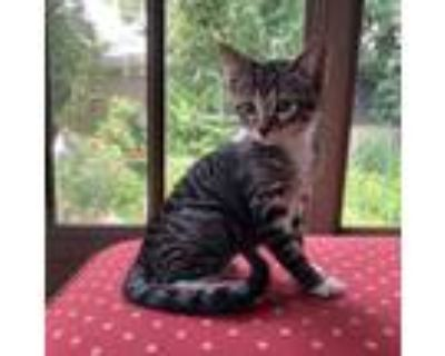 Adopt Jasper a Brown or Chocolate (Mostly) Domestic Shorthair (short coat) cat
