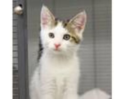 Adopt Honton a White Domestic Shorthair / Domestic Shorthair / Mixed cat in