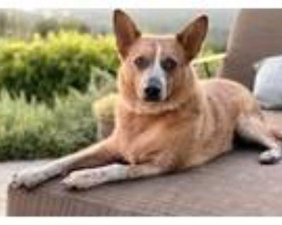 Adopt Deacon (Special Needs) a Australian Cattle Dog / Blue Heeler