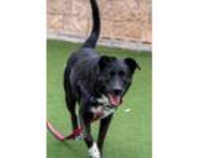 Adopt Coco a Labrador Retriever, Australian Cattle Dog / Blue Heeler