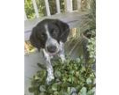Adopt Connect Four a Black - with White Blue Heeler / Catahoula Leopard Dog dog