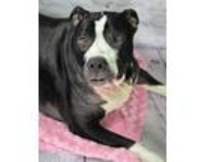 Adopt Hershy a Black American Pit Bull Terrier / Mixed dog in Cheyenne
